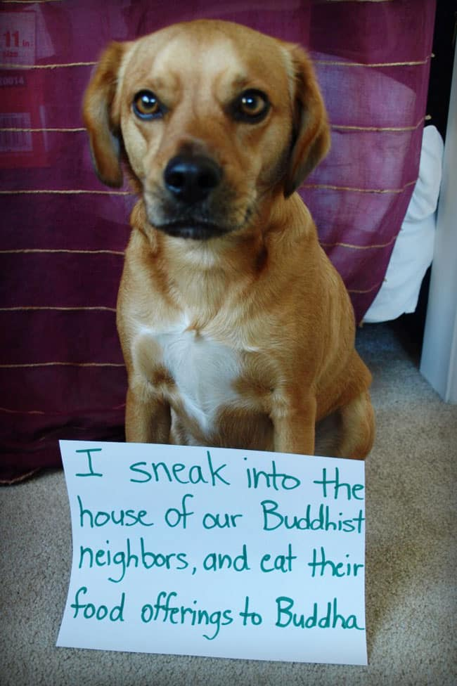 dogs-who-are-shamelessly-proud-of-what-they-just-did-12[1]