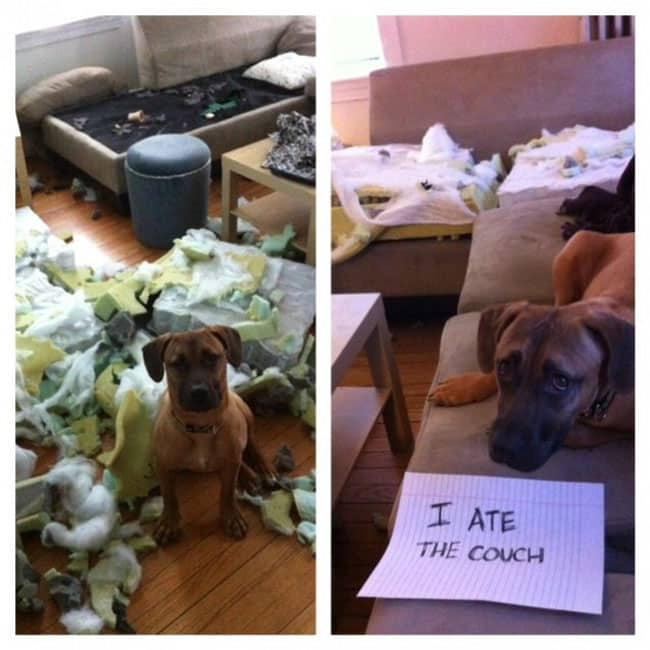 dogs-who-are-shamelessly-proud-of-what-they-just-did-29[1]