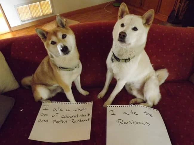 dogs-who-are-shamelessly-proud-of-what-they-just-did-31[1]