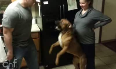 dogpregnant