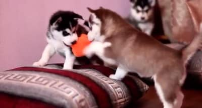 D1 See How Adorable These Husky Puppies Are, When They Play With Toys