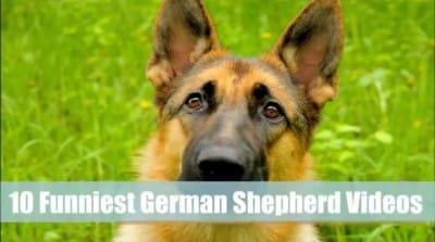 D5 Watch 10 Hilarious Things Done By German Shepherd