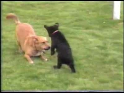 D7 Wow!! A Black Bear Cub Playing With An Old Dog, It's Simply Amazing!