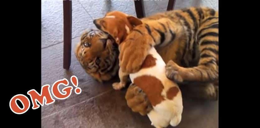 Dogs Like Tigers