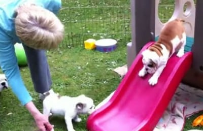 Puppies Playing On Slides Will Bring A Smile To Your Face
