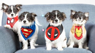 bal-cloning-long-haired-chihuahua-bruce-wayne--001
